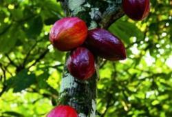 Qu'est-ce que le cacao ?